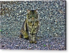 Mattie The Main Coon Cat Acrylic Print