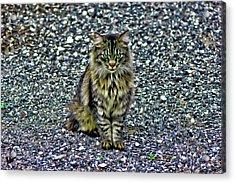 Mattie The Main Coon Cat Acrylic Print