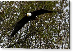 Mature Bald Eagle Acrylic Print