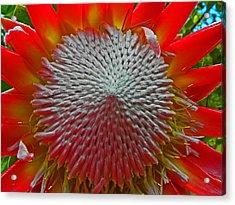 Maui Flower I Acrylic Print by Elizabeth Hoskinson