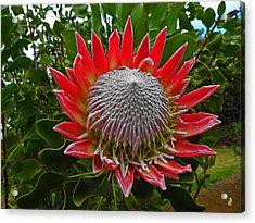 Maui King Protea I Acrylic Print by Elizabeth Hoskinson