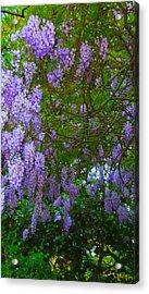 May Wisteria At Duke Gardens Acrylic Print