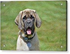Maya The Magnificent Mastiff Acrylic Print by Susie Fisher