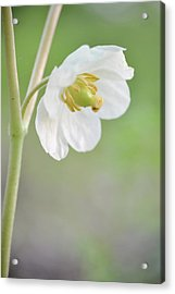 Mayapple Flower Acrylic Print