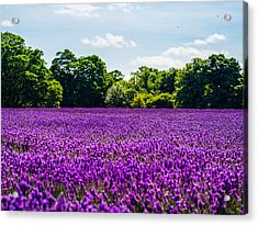 Mayfield Lavender Acrylic Print