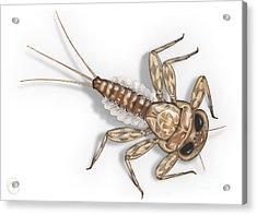 Mayfly Larva Nymph Rithorgena Ecdyonurus Venosus - Moscas De May Acrylic Print