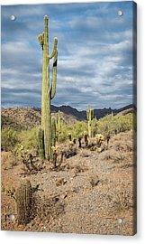 Mcdowell Cactus Acrylic Print