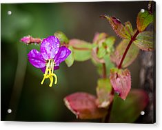 Meadow Beauty Acrylic Print by Black Brook Photography