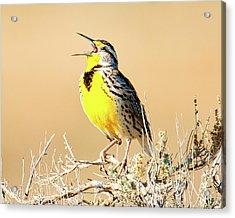 Meadow Lark Acrylic Print