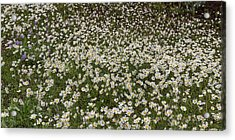 Acrylic Print featuring the photograph Meadow Of Daisey Wildflowers Panorama by James BO Insogna