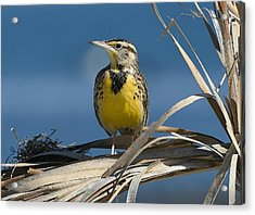 Meadowlark Beauty Acrylic Print