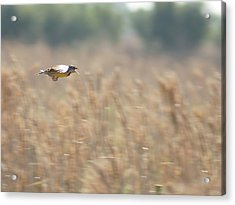 Acrylic Print featuring the photograph Meadowlark Flying by Lynda Dawson-Youngclaus