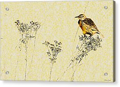 Meadowlark In Kansas Prairie 1 Acrylic Print