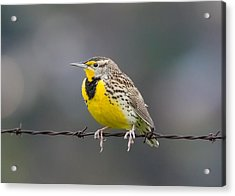Meadowlark On Barbed Wire Acrylic Print