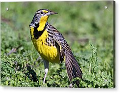 Meadowlark On The Runway Acrylic Print