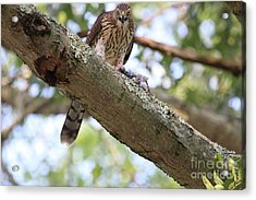 Mean Hawk At Dinner Time Acrylic Print