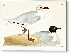 Mediterranean Black Headed Gull Acrylic Print by English School