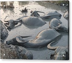 Medium Shot Of A Group Of Water Buffalos Wallowing In A Mud Hole Acrylic Print by Jason Rosette