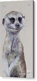 Meerkat 1 Acrylic Print