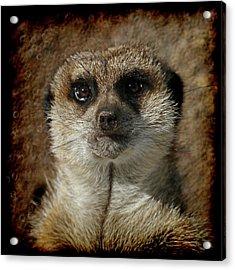 Meerkat 4 Acrylic Print by Ernie Echols
