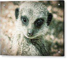 Acrylic Print featuring the photograph Meerkat Animal Portrait by Chris Boulton