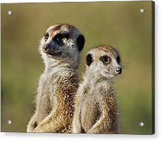 Meerkat Duo Acrylic Print