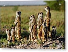 Meerkat Family Acrylic Print by Bruce W Krucke