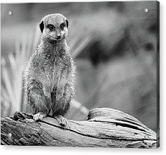 Meerkat Mount Acrylic Print