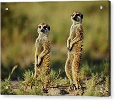 Meerkat Pair Acrylic Print by Bruce W Krucke