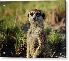 Meerkat Portrait Acrylic Print by Bruce W Krucke
