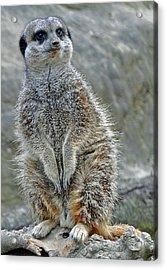 Meerkat Poses Acrylic Print