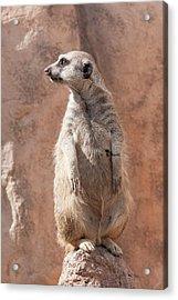 Meerkat Sentry 5 Acrylic Print