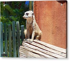 Meerkat Sentry Acrylic Print by Methune Hively