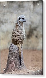 Meerkat Sitting And Looking Right Acrylic Print