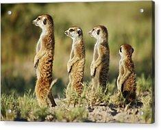 Meerkat Stairsteps Acrylic Print by Bruce W Krucke