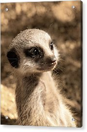 Meerkatportrait Acrylic Print by Chris Boulton