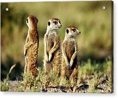 Meerkats Three Acrylic Print by Bruce W Krucke