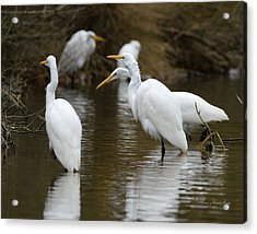 Meeting Of The Egrets Acrylic Print by George Randy Bass