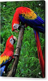 Meeting Of The Macaws  Acrylic Print by Harry Spitz