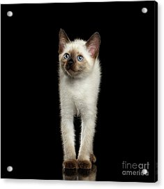 Mekong Bobtail Kitty With Blue Eyes On Isolated Black Background Acrylic Print by Sergey Taran