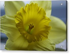 Mellow Yellow Acrylic Print by Patricia M Shanahan