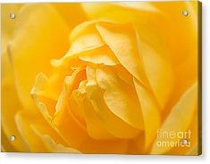Mellow Yellow Rose Acrylic Print