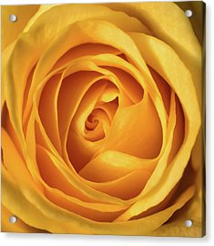 Acrylic Print featuring the photograph Mellow Yellow Rose Square by Terry DeLuco