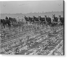 Men And Mules Cultivating Cotton Acrylic Print by Everett