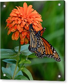 Menage Of Monarchs Acrylic Print