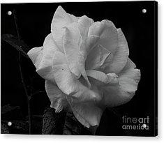 Mendocino Rose01 Acrylic Print