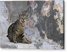 Meowing Cat Acrylic Print by Jean-Louis Klein & Marie-Luce Hubert