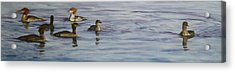 Mergansers Join In Acrylic Print by Terry Honstead
