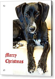 Merry Christmas Dog Acrylic Print by Dorothy Berry-Lound