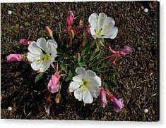 Mesa Blooms Acrylic Print